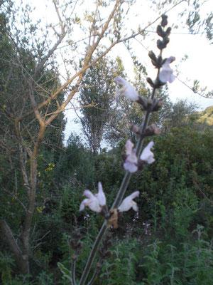 17. März Salbeiblüte