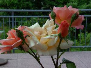 Rose Gruß an Coburg