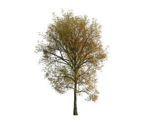 Herbstlicher, freigestellter, 3d generierter Baum für Architekturvisualisierungen.
