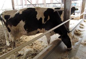 特別に見せていただいた、学園内の牛。のんびりした動きでしたが、予想以上の巨体に驚きました!