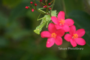 ハラビロカマキリ テイキンザクラ 沖縄の昆虫
