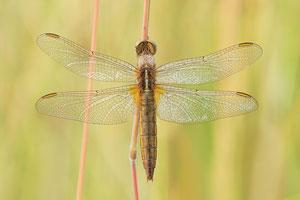 Gemeine Winterlibelle (Sympecma fusca), Weibchen
