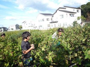 河内木綿の綿摘み 10月