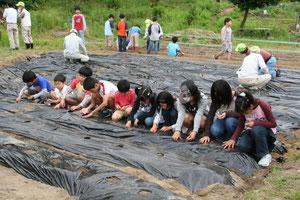 河内木綿の種まき 6月