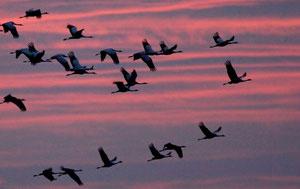 Abendlicher Kranicheinflug (Foto: Tom Dove)