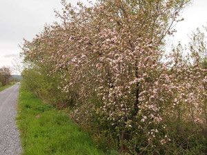 Apple tree growing 'wild' by former railway line