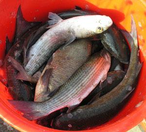 Une pêche typique de mulet