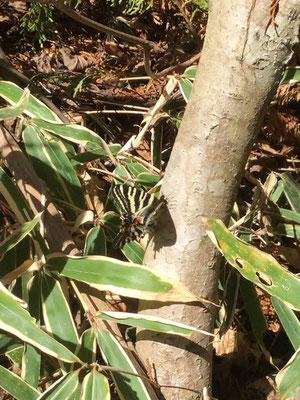 倒木上の交尾個体(雅恵がiPadで撮影)。