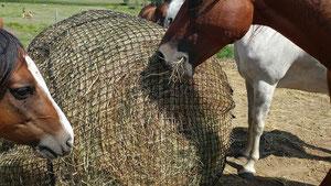 chevaux en troupeau au paturage mangent du foin dans un filet slowfeeder