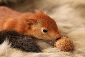 Maus Obstkorb Reserven Futter Eichhörnchen