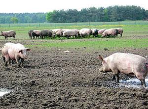 Auf der Weide: Sauen, Muttertiere auf einem Ferkelzuchthof in Niedersachsen. Foto: Helga Karl