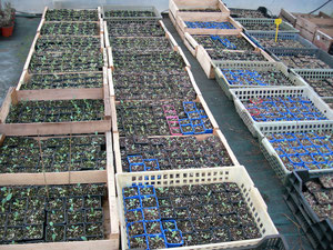 Production jeunes plants (goderts 8cm)