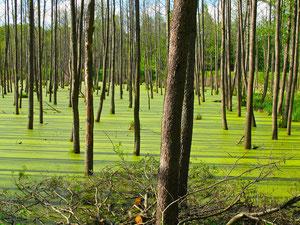 die Sumpf-Wälder um Rastenburg