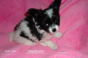 Daisy-Diamond 7 Wochen