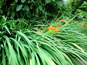 初夏、家の入り口付近に咲いためいっぱい元気で可憐なオレンジの花、なんという名前でしょうか。真っすぐで凛としています。