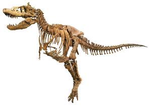タルボサウルス全身骨格