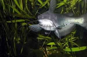 Ictalurus punctatus (Channel Catfish, Getüpfelter Gabelwels)