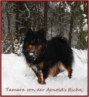 Zwergspitz Hündin Tamara von der Arnold's Eiche.