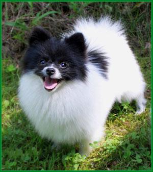 Pomeranian Hündin Milka von der Arnold's Eiche
