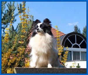 Pomeranian Hündin Samira von der Arnold's Eiche