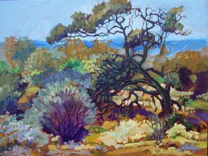 Western Myall Tree