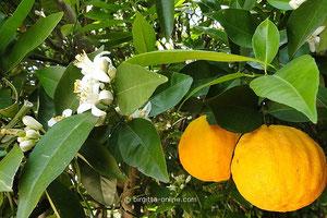 Orangenbaum, Blüten und Früchte gleichzeitig