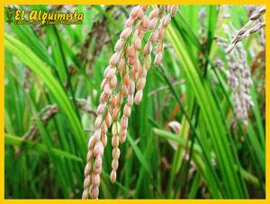 Cultivo de arroz - Cocina Japonesa 1 - Herbolario el Alquimista Arrecife Lanzarote