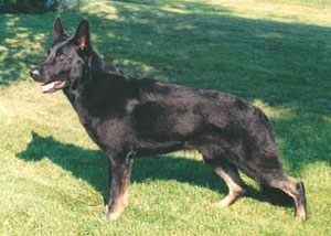 Shawlein Easter Parade SchH3 AD CD TD TT CGC UCC OFA, CH ptd. Bred, trained, owned and loved by Linda J Shaw April 14, 1995 - May 27, 2009