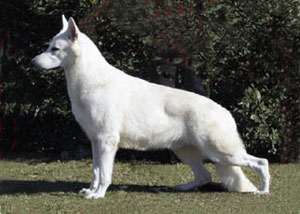 CH Alhambra?s Fox Mulder, world's all time top winning white. BazilianYoung Champion, Br.CH, Br.Grnd CH, Pan American CH, Grnd CH Pan-American, CH Argentino, Grnd CH Argentino, CH Americas y Caribe,CH Latin American, Int'l CH, World Champion 2004 & 2005.