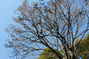トチノキ 林試の森 11月