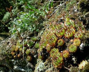 Gruppe von Sempervivum tectorum, Moseltal, in situ, 26.10.2011. Foto: Manuel Werner