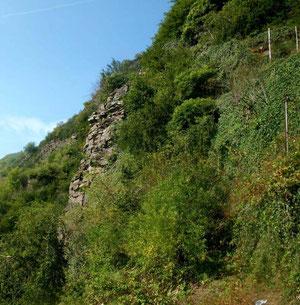 Steile Felswand im Moseltal, Lebensraum von Sempervivum tectorum. Foto: Manuel Werner