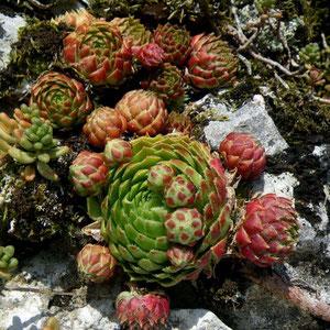 """Mutterrosette und Tochterrosetten (""""Abroller"""") bei Sempervivum globiferum subsp. globiferum, Lochen, Foto: Manuel Werner"""