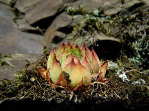 Dach-Hauswurz (Sempervivum tectorum), Moseltal, in situ, 26.09.2011. Foto: Manuel Werner
