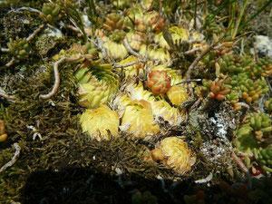 Dürrestress bei S. globiferum subsp. globiferum, Lochen, in situ, 02.10.2011, Foto: Manuel Werner