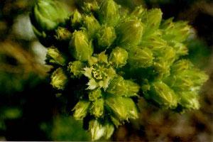 Blütenstand von S. globiferum, Lochen, 03.09.
