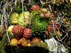 Sempervivum globiferum subsp. globiferum, Lochen, 02.10.2011, Foto: Manuel Werner