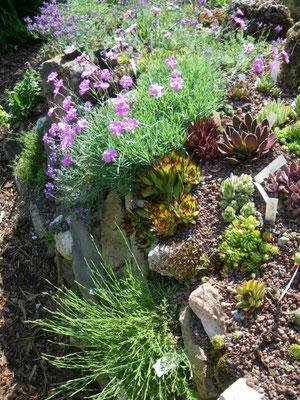 Hauswurzen im Mai mit Heide-Nelke (Dianthus deltoides, vorne), Pfingstnelke (Dianthus gratianopolitanus, blühend) und hinten links Alpen-Leinkraut (Linaria alpina, blau blühend)