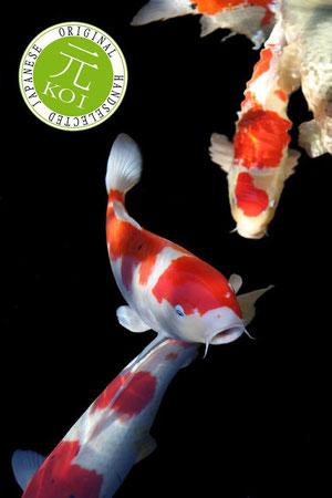 Japan koi fressnapf teichwelt luxembourg foetz for Koi teichfische