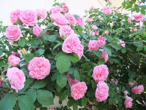 雨と薔薇の季節の金ジャズ