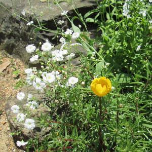久しぶりに咲いたカスミソウとマツバボタン