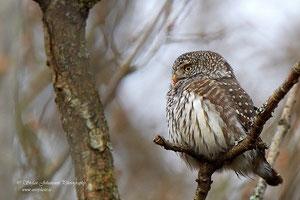 Фото с сайта: http://www.zooclub.ru/birds/vidy/179.shtml