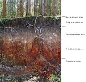 Подзолистые почвы. Фото с сайта: http://vcvetu.ru/rasteniya/2506/index.html