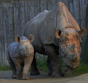 Nashornnachwuchs / Zoo Krefeld