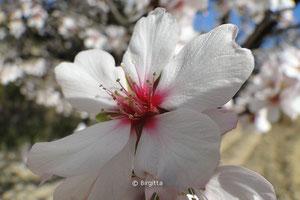 Mandelblüte Mallorca, Foto: Birgitta, birgitta.es