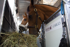 Liege focuses on the equine business  -  courtesy Qatar Cargo