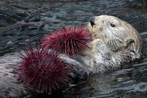 ウニの個体数が急増したため今年のラッコの数の増加したと考えられている。Photo by Neil Fisher