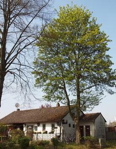 Großer Feld-Ahorn mit hoch angesetzter Krone im Freistand. Stammumfang 1,50 Meter.