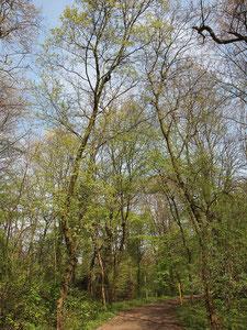 Zwei unregelmäßig hochgewachsene Bäume an einem Waldweg unter Konkurrenzdruck im Frühjahrsaspekt