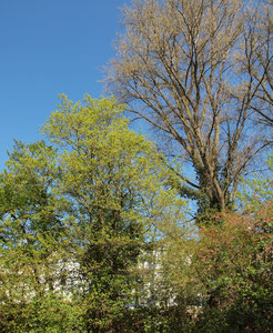 Mittelgroßer Baum mit Efeu bewachsen im Schattendruck einer großen Pappel, Frühjahraspekt